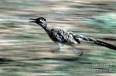Roadrunner Photograph - Greater Roadrunner by Tierbild Okapia