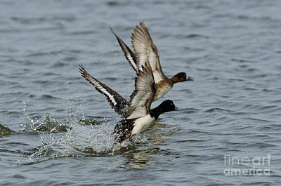 Two Ducks In Flight Photograph - Greater Scaup Pair by Anthony Mercieca