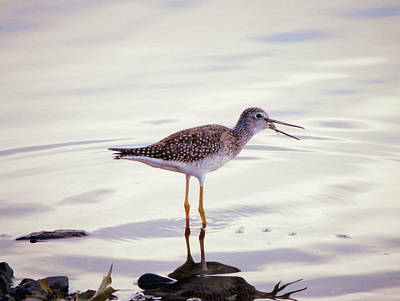 Canada Photograph - Greater Yellowlegs With Fish In The Beak by Zinvolle Art