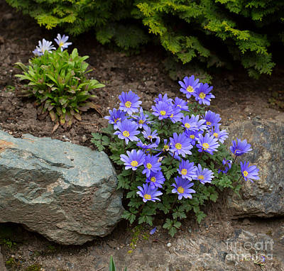 Serrated Photograph - Grecian Windflower by Louise Heusinkveld