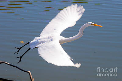 Greeat Egret Flying Print by Thomas Marchessault