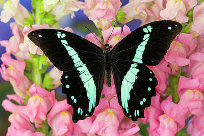 Blue Swallowtail Photograph - Green-banded Swallowtail Or African by Darrell Gulin