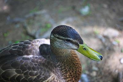Green-billed Duck Print by John Hoey