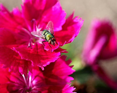 Green Bottle Fly On Dianthus  Print by Rona Black
