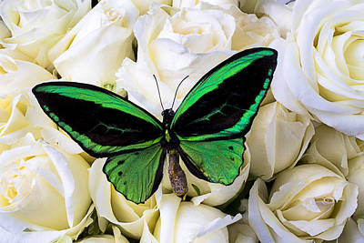 Green Butterfly On White Roses Print by Garry Gay