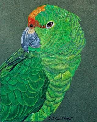 Parakeet Drawing - Green Conure by Anita Putman