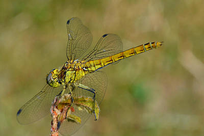Green Dragonfly Original by Steen Hovmand Lassen