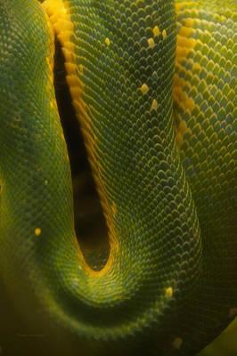 Boa Constrictor Digital Art - Green Emerald Boa by Thomas Woolworth