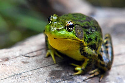 Frogs Photograph - Green Envy by Christina Rollo