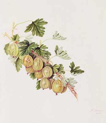 In Bloom Painting - Green Gooseberry by William Hooker