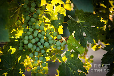 Wines Photograph - Green Grapes by Ana V  Ramirez