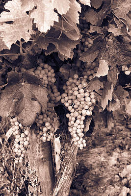 Grapevine Photograph - Green Grapes - Toned by Georgia Fowler