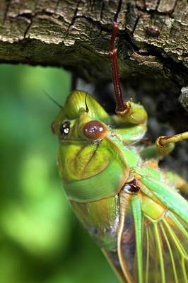 Cicada Photograph - Green Grocer Cicada by Dr Jeremy Burgess