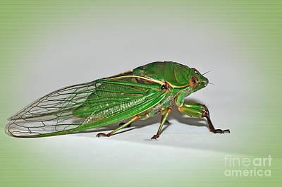 Cicada Photograph - Green Grocer Cicada by Kaye Menner