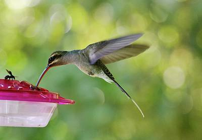 Green Hermit Hummingbird Feeding Print by Bob Gibbons