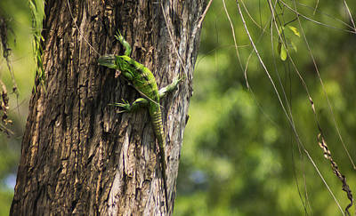 Green Iguana Print by Aged Pixel