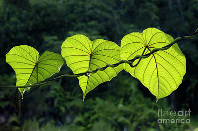 Green Leaves Print by William Voon