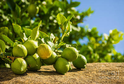 Green Lemons Print by Carlos Caetano