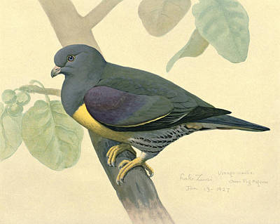 Green Pigeon Print by Louis Agassiz Fuertes