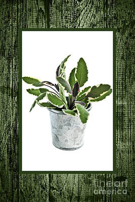 Green Sage Herb In Small Pot Print by Elena Elisseeva