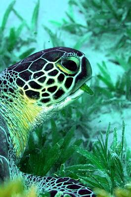 Seagrass Photograph - Green Sea Turtle Feeding by Louise Murray