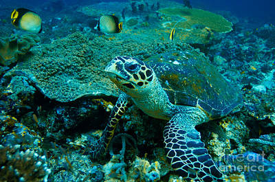 Indonesian Wildlife Photograph - Green Sea Turtle by Manfred Bail