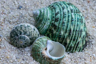 Seashell Photograph - Green Seashells by Randy Walton