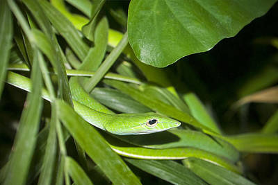 Green Snake Print by Greg Reed
