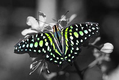 Butterfly Photograph - Green Spotted Butterfly by Sumit Mehndiratta