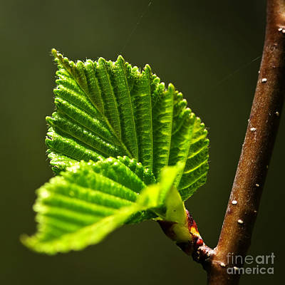 Sprout Photograph - Green Spring Leaves by Elena Elisseeva