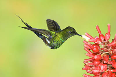 Nectaring Bird Photograph - Green Thorntail Hummingbird by Anthony Mercieca