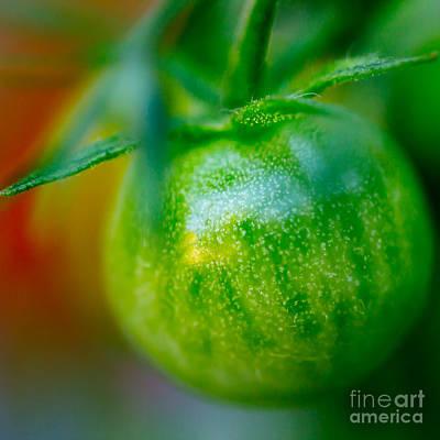 Fruit Photograph - Green Tomato II Square by Patricia Bainter