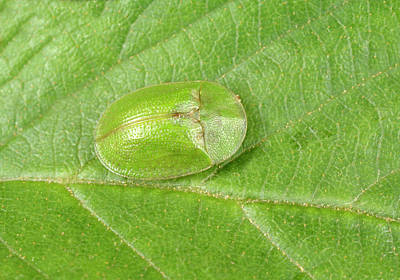 Beetle Photograph - Green Tortoise Beetle by Nigel Downer