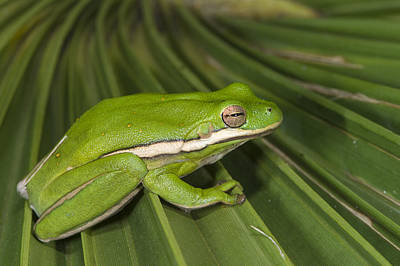 Green Tree Frog Little St Simons Island Print by Pete Oxford