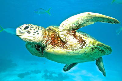 Green Turtle Print by Casey Herbert