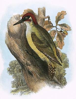 Woodpeckers Photograph - Green Woodpecker by English School