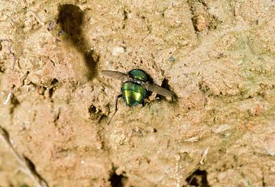 Greenbottle Caught By Tiger Beetle Larva Print by Bob Gibbons