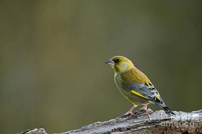 Finch Photograph - Greenfinch by Anne Gilbert