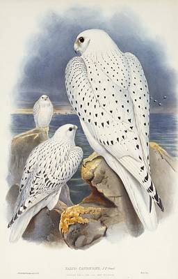 Falcon Drawing - Greenland Falcon by John Gould