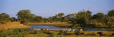 Of Zebra Grazing Photograph - Grevys Zebra And African Buffalos by Panoramic Images