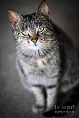 Gray Tabby Photograph - Grey Cat Portrait by Elena Elisseeva