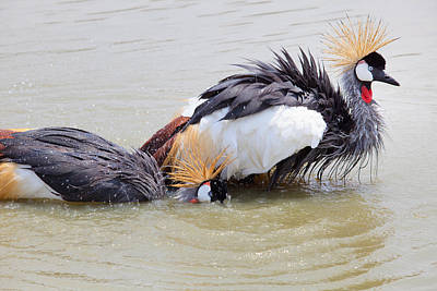 Water Play Photograph - Grey Crowned Crane Washing In Natural Water Pool by Suriya  Silsaksom