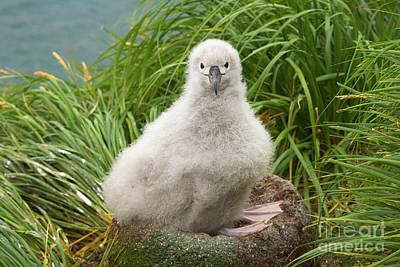 Albatross Photograph - Grey-headed Albatross Chick S Georgia by