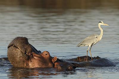 Grey Heron On Hippopotamus Kruger Np Print by Perry de Graaf