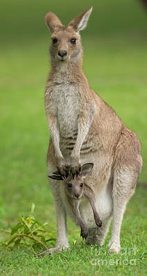 Grey Kangaroo And Joey  Print by Yva Momatiuk John Eastcott