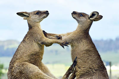 Kangaroo Photograph - Grey Kangaroo  Males Fighting Tasmania by David Parer and Elizabeth Parer Cook