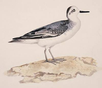 Grey Phalarope, 19th Century Print by Science Photo Library
