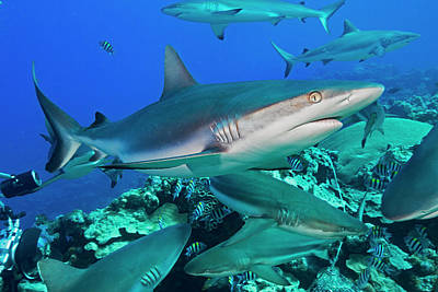 Grey Reef Sharks  Carcharhinus Print by Dave Fleetham