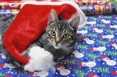 Grey Tabby Cat With Santa Claus Hat Print by Thomas Kitchin & Victoria Hurst