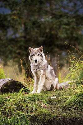 Grey Wolf  Canis Lupus  Pup Roams It S Print by Doug Lindstrand